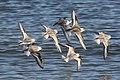 Sanderling (Calidris alba) (3972936394).jpg