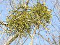 Santalaceae in Winter.JPG
