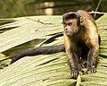 Sapajus apella apella (French Guyana) 2.jpg