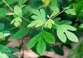 Sassafras Leaves June Nbg (261691941).jpeg