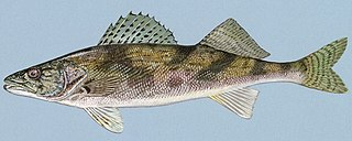 Sauger species of fish