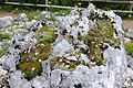 Saxifraga paniculata - GBA Viote 26.jpg