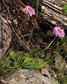 Scabiosa lucida ssp. lucida PID2040-1.jpg