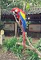 Scarlet Macaw (10) (40194388294).jpg