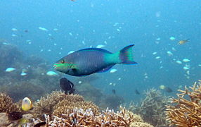 Bridled parrotfish (Scarus frenatus)