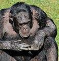 Schimpanse, Pan troglodytes 4.JPG