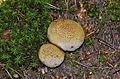 Scleroderma citrinum - earth ball - Kartoffelbovist - Boletales - Sclerodermatineae - 03.jpg