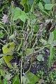 Sclerotinia sclerotiorum at Phaseolus vulgaris, sclerotiënrot stamsperzieboon (02).jpg
