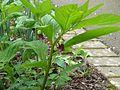 Scopolia carniolica - Flickr - peganum (1).jpg