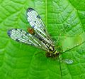 Scorpion Fly. Panorpa sp. - Flickr - gailhampshire.jpg