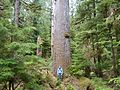 Scotty and giant Spruce - panoramio.jpg