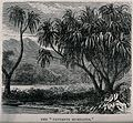 Screwpine plants (Pandanus muricatus) on a lakeside. Wood en Wellcome V0043200.jpg