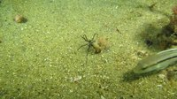 File:Sea Spiders.webm