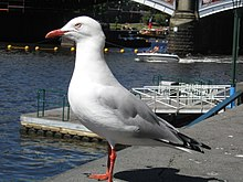 Seagull in Melbourne.jpg