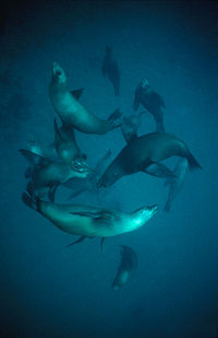 A pod of at least a dozen sea lions, swimming underwater