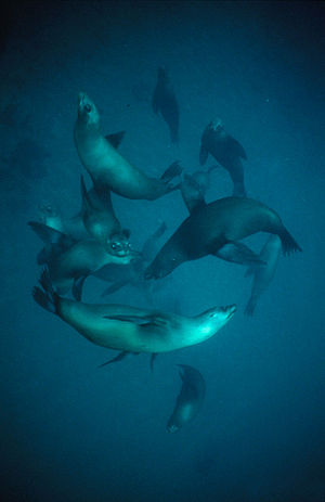 California sea lions are common prey for mamma...