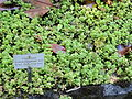 Sedum oreganum - Botanischer Garten, Frankfurt am Main - DSC02538.JPG