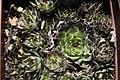 Sempervivum calcareum 1zz.jpg