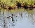 Seney National Wildlife Refuge - Wildlife (9702012743).jpg