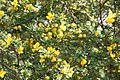 Senna polyphylla 29zz.jpg