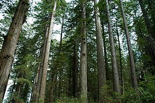 Sequoia sempervirens LBJ1.jpg