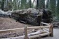 Sequoya National forest Giant Forest en2016 (34).JPG
