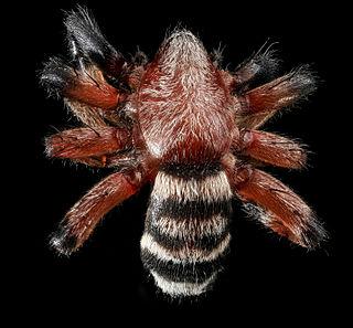 <i>Sergiolus</i> Genus of spiders