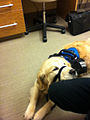 Service dog at the office.jpg