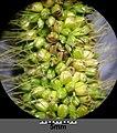 Setaria italica subsp. italica sl37.jpg