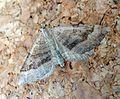 Shaded Broad-bar. Scotopteryx chenopodiata - Flickr - gailhampshire (1).jpg