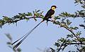 Shaft-tailed whydah, Vidua regia, at Pilanesberg National Park, Northwest Province, South Africa (28039399853).jpg