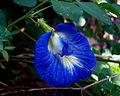 Shankupushpam blue.jpg
