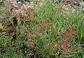 Sheep Sorrel (Rumex acetosella) on the Bigholm Hill, Beith, Ayrshire, Scotland.jpg