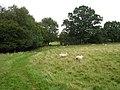 Sheep near Chitcombe - geograph.org.uk - 948173.jpg