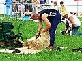 Sheep shearing (2 of 2) Cirencester Park, Gloucestershire - geograph.org.uk - 2489795.jpg