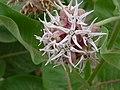 Showy Milkweed in Bloom.jpg