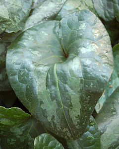 Showy Sichuan Ginger Leaf Asarum splendens 2000px.jpg