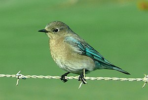 Mountain bluebird - Female