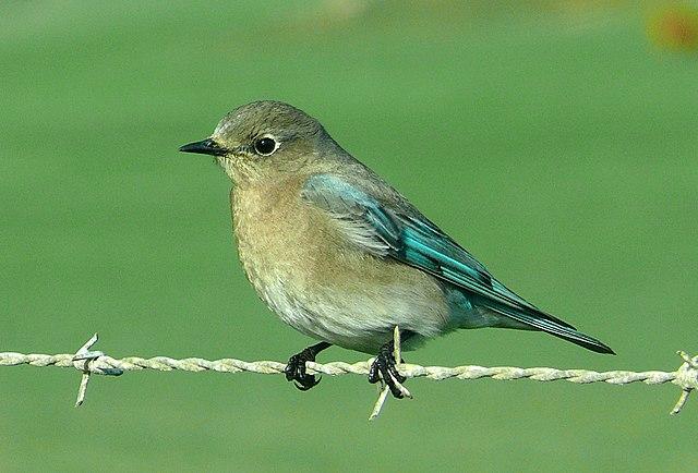 Mountain Bluebird Wikiwand