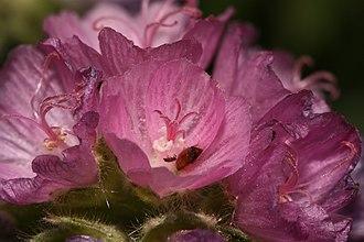 Sidalcea - Image: Sidalcea hirtipes 3554f