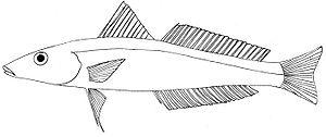 Japanese whiting - Image: Sillago japonica