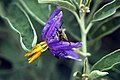 Silver-Leaf Nightshade with Beetle Eating Bloom (561418718).jpg