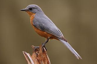 Old World flycatcher - Silverbird, monotypic genus Empidornis