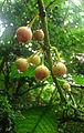 Siparuna auriculata (or tonduziana), fruit (9755233503).jpg