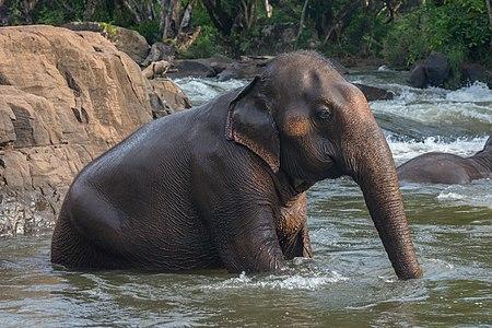 Sitting Asian elephant bathing in river