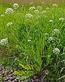 SiumLatifolium.jpg