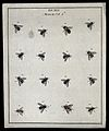 Sixteen flies (Muscæ species). Coloured etching by M. Harris Wellcome V0022488EL.jpg