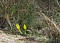 Skunk Cabbage on Gabriola Island.JPG