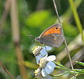 Small Heath (Coenonympha pamphilus) (22776313457).jpg