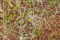 Solanaceae sp.-CTJ-IMG 6683.jpg